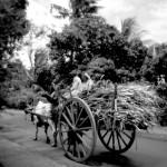 de retour des champs - Curepipe - Ile Maurice