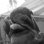portrait de Dumbo - cirque Muller - Trouville