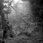 forêt primaire - la Roche Ecrite - La Réunion